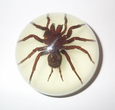 Tarantula Spider in 67 mm Acrylic Dome Paperweight Glow Education Real Specimen