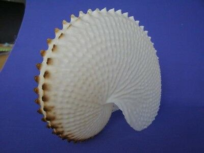 A Very Rare Paper Nautilus  Shell In Absolutely Perfect Condition.