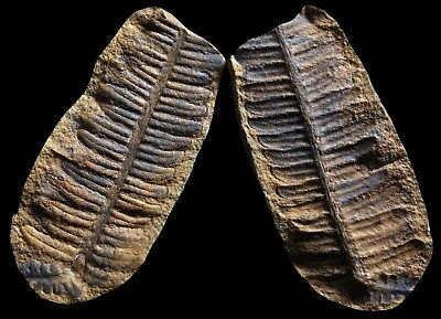 A SUPERB Pecopteris Fern Fossil, Mazon Creek Plant Fossil Nodule