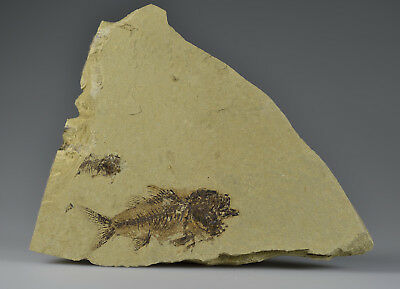 Excellent and rare fossil fish - Dapalis!