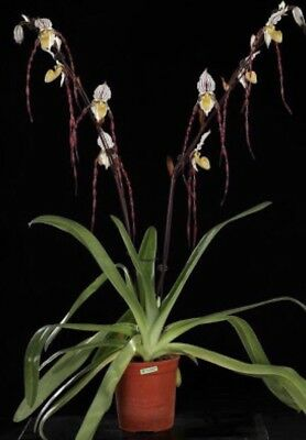 """AAO Orchid-Paphiopedilum """"Angle Hair""""(Rare)"""