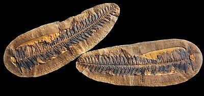 A STUNNING 5 INCH Pecopteris Fern Fossil, Mazon Creek Plant Fossil
