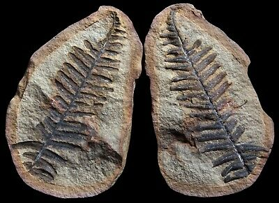 A TREMENDOUS Full Tip Pecopteris Fern Fossil, Mazon Creek Plant Flower Fossil