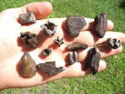 Florida Fossil Collection Tooth Teeth Fossils Jaw Bones Camel Tapir Horse Beaver