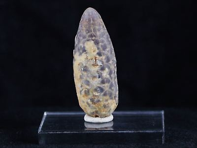 1.9 In Fossilized Pine Cone Replaced By Agate 45 Million Yrs Ago Morocco Seeds