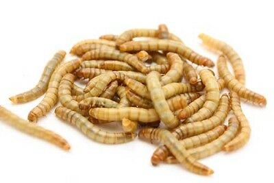 Live Mealworms Approximately 400 (20-30mm) Bird Reptile Live Foods