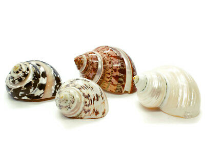 4 Assorted Polished Turbo Hermit Crab Shells - Free Shipping Beach Nautical
