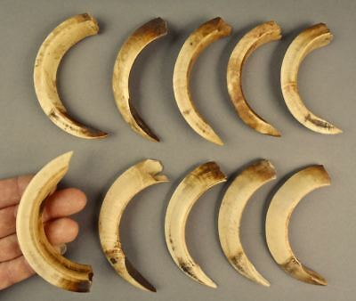 10 Large Papua New Guinea PNG Pig Teeth Tooth Crafts Artwork Pendant NOT lV-0R-Y