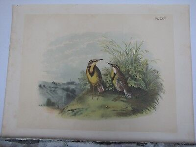 1895 Antique Studer Bird Print Meadowlark Plate XXIV