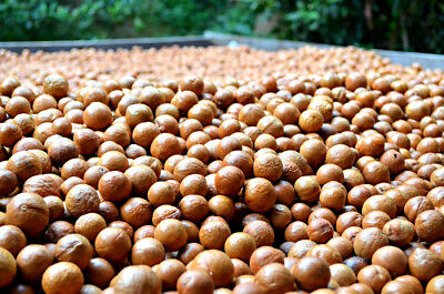 Fresh Organically Grown Macadamia Nuts/Seeds with Shell On - 460gms