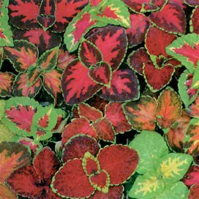 500+COLEUS RAINBOW MIX Flower Seeds Shade Garden Patio Container Houseplant