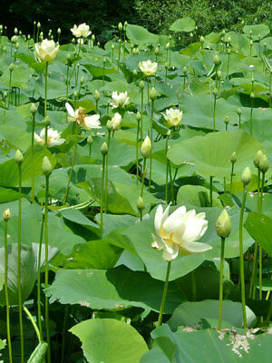 30 American Water Lotus, Nelumbo lutea Seeds, White, aquatic perennial vegetable