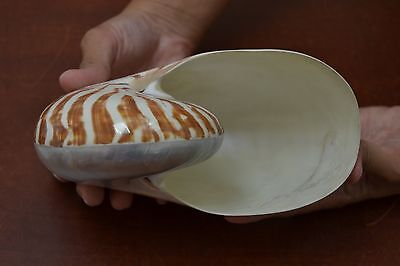 """Sliced Pearl And Striped Chambered Nautilus Sea Shell Decor 6"""" - 7"""" #7423"""