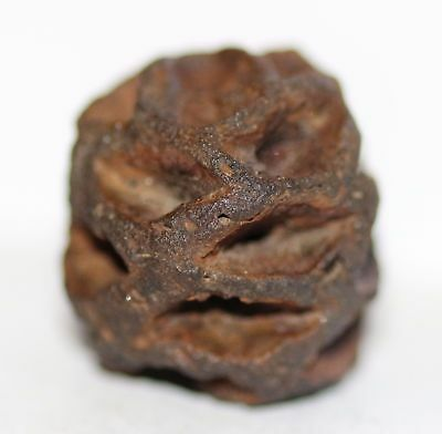 Meta Sequoia Pine Cone Dinosaur Age Fossil Highly Detailed Hell Creek Formation