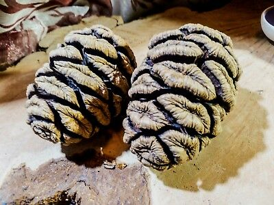 Elemental Exchanges 15 Giant Sequoia Cones 1-3 inch Forest Friendly Private Land