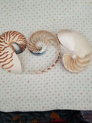 Natural Nautilus Triple Cut Genuine Tiger 6 Inch By 5 Inch