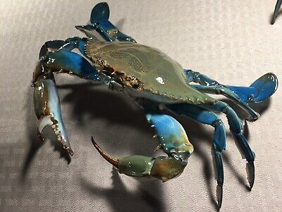 blue crab taxidermy gift item beach Coral  Reef Gulf Maryland Sea life Ocean