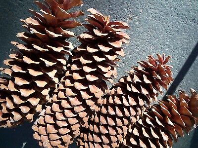 4 Sugar Pine Cones 12-14 inch Forest Friendly Holiday Nature Decor