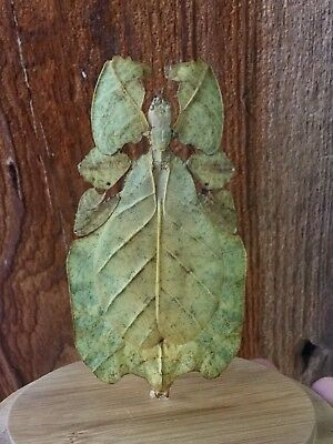Taxidermy Entomology Leaf bug-Phyllium Pulchrifolium-insect-beetle glass dome