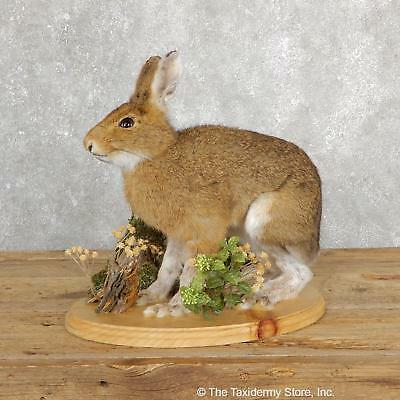 #19697 E+ | Standing Snowshoe Hare Life Size Taxidermy Mount For Sale