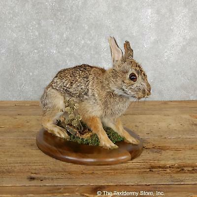 #19694 N+| Sitting Cottontail Rabbit Life Size Taxidermy Mount For Sale