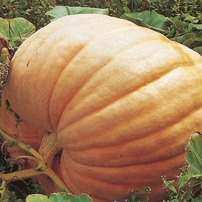 16 x Atlantic Giant Pumpkin Seeds (Fresh 2018 Seeds) GOOD FOR SHOWS (Not to WA)