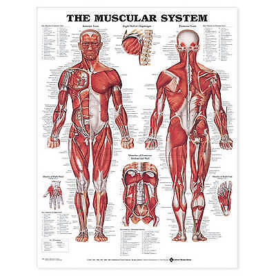 NEW >> The Muscular System Anatomical Chart by Anatomical Chart Co.