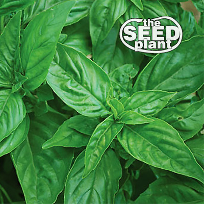 Genovese Basil Seeds - 250 SEEDS NON-GMO