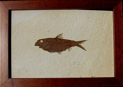 Extinctions- Beautiful Framed Fossil Fish- Cool Knightia Eocaena, Free Shipping!