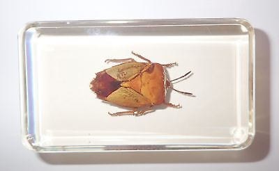 Brownish Bug in 73x40x22 mm Amber Clear Block Learning Insect Specimen
