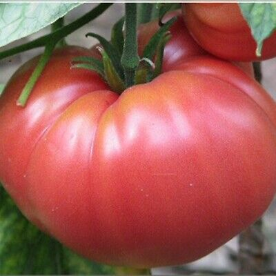 Vegetable Seeds Tomato Brandywine Pink Organically Grown US variety NON-GMO