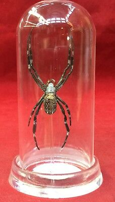 G9 ONE (1) Entomology taxidermy Garden Spider glass dome display insect Arachnid