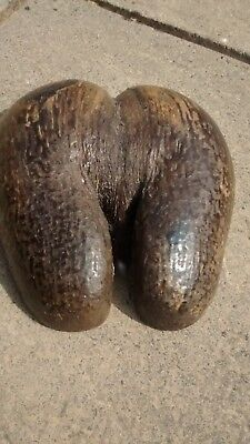 Beautiful coco de mer nut from the Seychelles