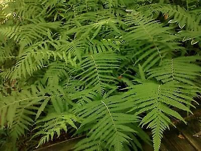 Thelypteris kunthii-Southern Shield Fern, Wood Fern, River Fern, Kunth's Maid...