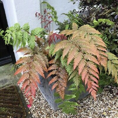 "Woodwardia unigemmata-Jewelled Chain Fern Plant in 3.5"" pot"