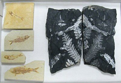 Extinctions- Flat Of 4 Fossil Fish And 2 Fern Plates- Great Assortment Free Ship