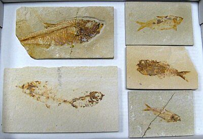Extinctions- Flat Of 5 Fossil Fish Plates- Wholesale Lot- 2 Types- Free Shipping