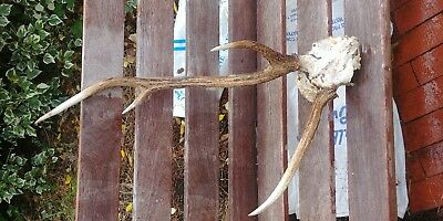 chital antlers fallow horns taxidermy red stag arts craft bone skull goth buck