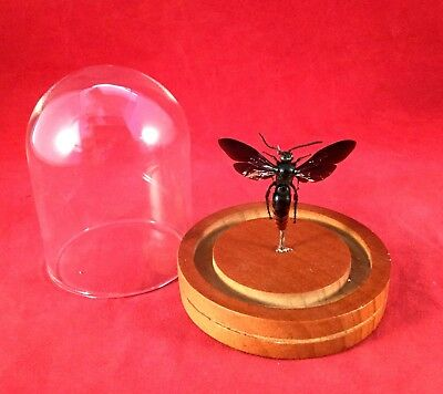 Y45 Entomology Iridescent Scoliid Wasp Megascolia azurea Male Glass Dome Display