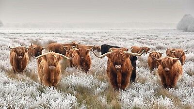 group highland cow High Quality wall Art poster Choose your Size