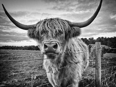 Highland cow, black and white High Quality wall Art poster Choose your Size