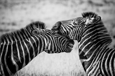 Zebra black and white  , animal High Quality wall Art poster Choose your Size