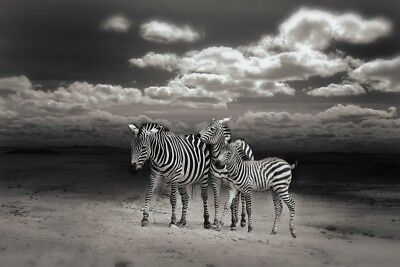 Family Zebra High Quality wall Art poster Choose your Size