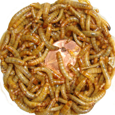 Live Mini Mealworms - Baby Size Apx 1/2 inch, 100 to 1000 Counts