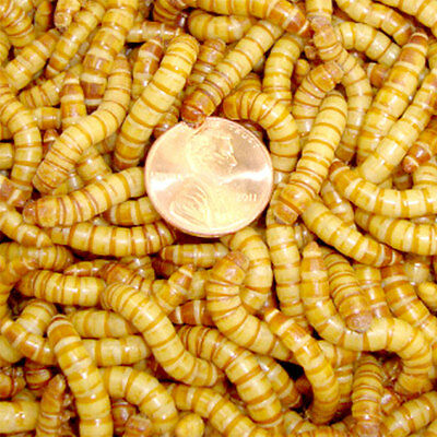 Live Giant Mealworms apx 1.25-2 in 100-1000 Counts, By Gimminy Crickets & Worms