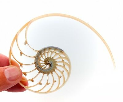 """Pearl Nautilus Shell Center Cut 4""""-5"""" Free Shipping from BuytheSeaOnline"""