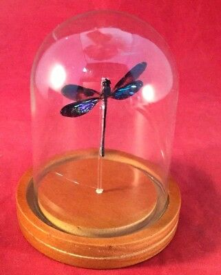 Y104 Entomology Taxidermy Iridescent Dragonfly Glass Dome Display specimen insct