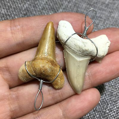 Natural FOSSIL SHARK TEETH from MOROCCO MEGALODON GRANDFATHER ERA 1pc QA149