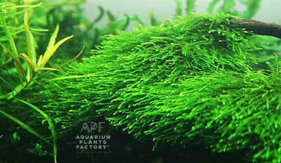 Java Moss Vesicularia Golf Ball Aquarium APF® Live Aquatic Plants BUY2GET1FREE*