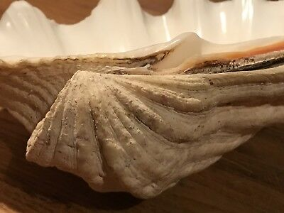 """Large Natural Collectible Clam Seashell 12"""" x 7"""""""